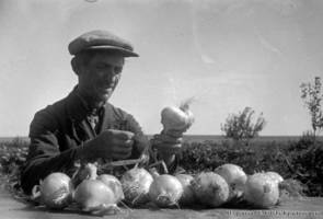 "A.I. Stoll, the foreman of the ""Komintern"" collective farm, selecting onions for the National Agricultural Exhibition (VSHV). 1937."