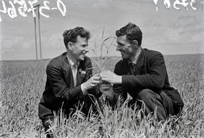 J.Ch. Heinz, a member of the Supreme Council of the Volga German Republic and chairman of the Executive Committee of the Krasny Yar Kanton, while inspecting the wheat seedlings with D.D. Altergot, the chairman of the village council and a candidate for participation in the National Agricultural Exhibition, 1939.